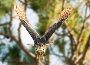2nd Place - Color A - Great Horned Owl Right at Me - By Kathy Cartwright Urbach