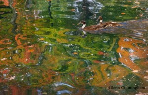 Duck-pair-in-a-Monet-Scene-  Picture-taken-in-late-fall-2016in-Knoxville-TN-at-a-  pond-frequented-by-ducks-and-Geese~Glenn-Cunningham