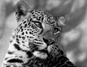 Leopard-portrait-in-black-and-white~Jim-Urbach