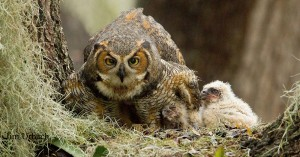 great-horned-owl-and-2-owlets~Jim-Urbach