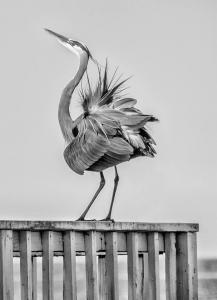 Monochrome 3rd Mating Dance on the Dock by Jennifer Wiggins