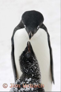 Adelie Penguin Maternal Bonding - Jim Urbach- First Place - Color Advanced